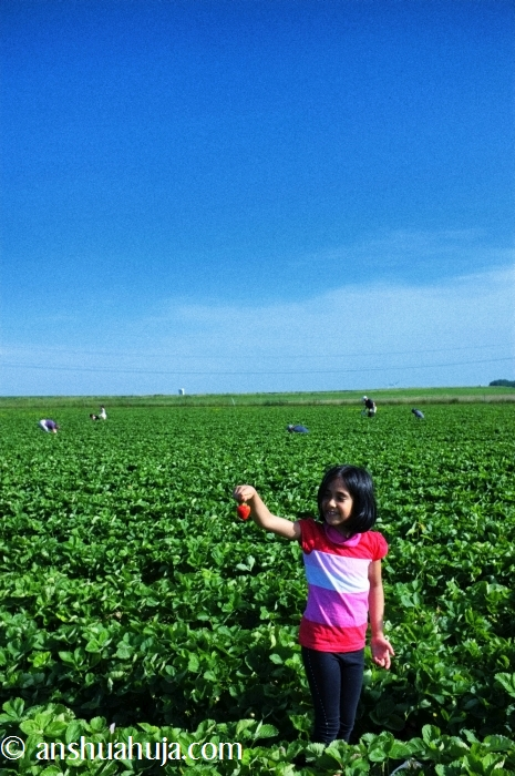 StrawberryPicking2014_01